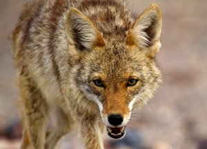 north-america-coyote-625x450